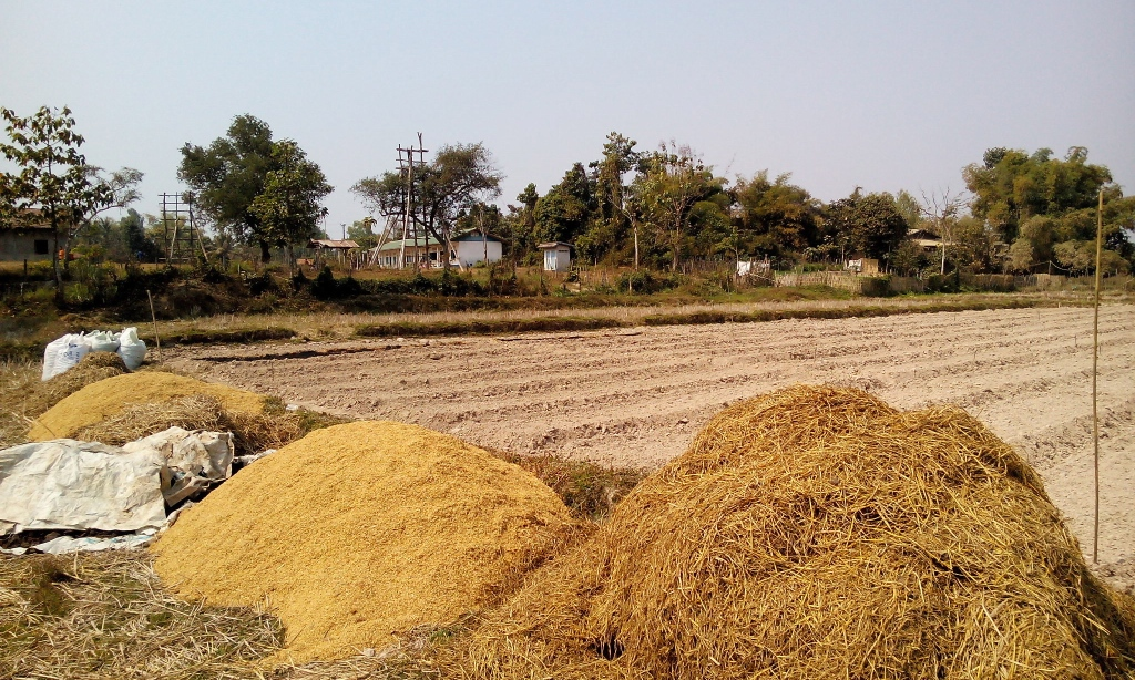 Rice straw and rice husk biomasses for biochar production.