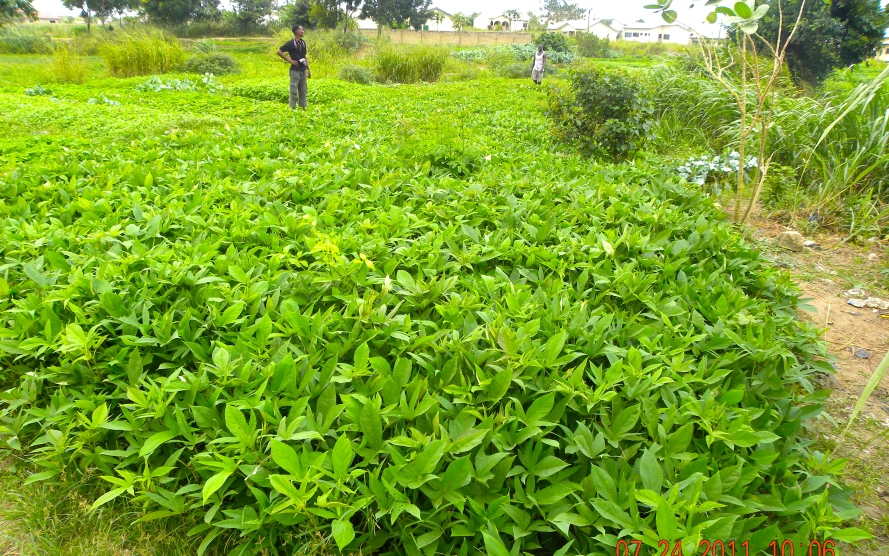 A survival garden shown to me here was planted with potatoes grown for both the tube and leaves as it is commonly eaten in West Africa.